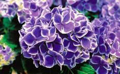 hydrangea au burkes backyard - Google Search
