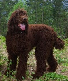 Beautiful brown standard poodle