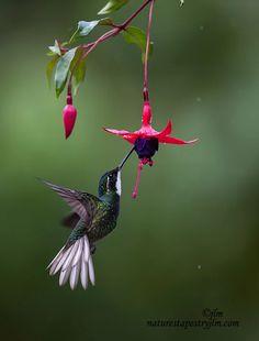 Hummingbird - Feeding in the Rain, by Judy Lynn Malloch Cute Birds, Pretty Birds, Beautiful Birds, Animals Beautiful, Beautiful Flowers Photos, Beautiful Pictures, Exotic Birds, Colorful Birds, Images Colibri