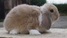 Giant French Lop Rabbits | LILAC TORT MANTLE BUCK