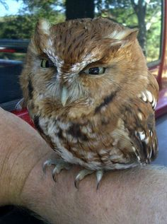 "AMAZING OWL - ""My Uncle forgot to roll up the window to his truck, and we found this little guy inside.""  He looks a bit mad!"