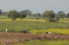Goats, Barauli, Uttar Pradesh, India