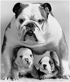 Mama and baby bull dogs