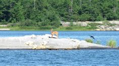 A swimming deer spotted while #boating on Ontario's beautiful Georgian Bay.