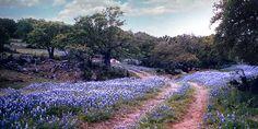 Bluebonnets; Fredericksburg, Texas