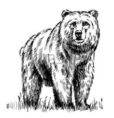 engraving animal: black and white engrave ink draw isolated vector grizzly bear - Tragen Bear Face Drawing, Grizzly Bear Drawing, Grizzly Bear Tattoos, Animal Sketches, Animal Drawings, Black Pen Drawing, Bear Sketch, Forest Drawing, Bear Paintings
