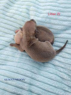Italian Greyhound Puppies, Dinosaur Stuffed Animal, Animals, Animales, Animaux, Animal, Animais
