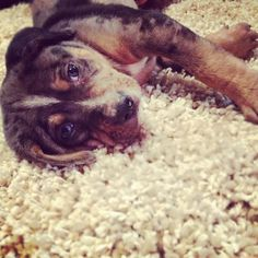 Catahoula Pup - Looks just like Roo!!