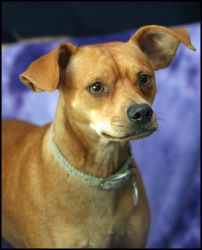 BAM BAM aka POPPI is an adoptable Miniature Pinscher Dog in Kingsland, GA. Bam Bam is a 1 year old red neutered male Min Pin mix. He is very sweet, mellow and loves to give kisses. Formal behavior tes...