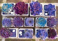 blue purple succulents