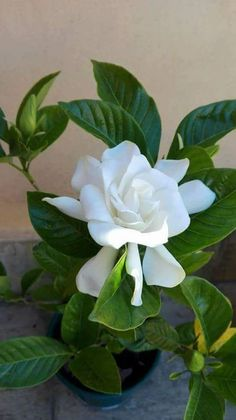 Gardenias, Gardenia Bush, Exotic Flowers, White Flowers, Beautiful Flowers, Beautiful Things, Beautiful Pictures, Blossom Flower, My Flower