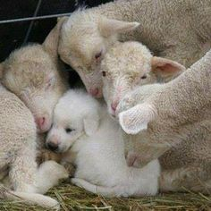 puppy accepted by lambs
