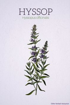 Hyssop (Hyssopus officinalis) which grows in solitary places among stones, is used to symbolize penitence and humility. Due to its purgative qualities, it is also taken to symbolize innoncence regained and, hence, baptism.