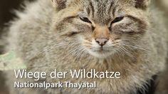 2007 wurde die bis dato in Österreich für ausgestorben gehaltene Europäische Wildkatze in den Wäldern des Nationalparks Thayatal wiederentdeckt. Dort gibt es mittlerweile ein Wildkatzengehege, in dem Frieda und Carlo leben. Die beiden fungieren als Botschafter ihrer Art und können von Besuchern dabei beobachtet werden, wie sie geschickt durch das größte Wildkatzengehege Österreichs klettern und während der Fütterungen ihrem Jagdtrieb folgen. Nationalparks, Animals, Extinct, Feral Cats, Climbing, Hunting, Life, Animales, Pictures