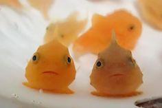 ポップな色合いにぷっくり体形の「フウセンウオ」は、おたる水族館の人気者。 このフウセンウオの動画を投稿した、北海道新聞のツイート(@doshinweb)が話題になっています。 Twitterで人気! 小さなフウセンウオたちが水中をふにふにと泳ぐこちらの動画は、北海道新聞の「どうしんウェブ」で連載中の「おたる水