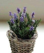 mini lavender