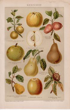 1884 Botanical Antique Print, Vintage Lithograph, Apple, European Pear, Mespil, Kernobst, Fruits, Botany, Gardening, Summer, Fall, Germany