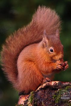 Photograph,Images,video for visual recreation Squirrel Tattoo, Squirrel Art, Cute Squirrel, Squirrels, Nature Animals, Animals And Pets, Funny Animals, Cute Animals, Squirrel Pictures