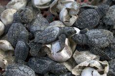 Kemps Ridley Marine Sea Turtles