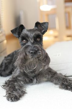 OMG this is a Super Gorgeous Black Mini Schnauzer absolutely beautiful!!!