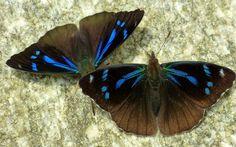 Perisama or Orophila cardases
