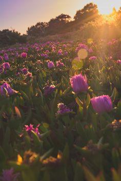 """pedromgabriel: """" - Sunset Flowers II - """""""