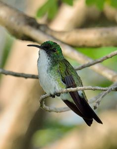 White-chested Emerald Hummingbird (Amazilia brevirostris)   by Zakir Hassan