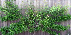 Sumer pruning of your espalier trees