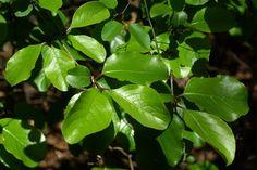Rusty Blackhaw (Viburnum rufidulum)