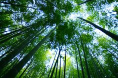 Bamboo shoots into the sky in Beppu, Japan.