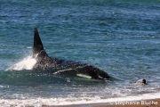 CET_0859Orque / Killer Whale / Orcinus Orca _ Punta Norte, Province du Chubut, Argentine, Amérique du Sud