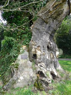 "Queen Elizabeth oak, Northiam, East Sussex, UK, you might think this 1,000 year old tree is just a tree but it's a very special tree! When Queen Elizabeth I journeyed to Rye on August 1573 she sat under this tree and ate a meal. She changed her shoes of green damask silk with a 2 5"" heel and pointed toe and left them behind as a memento of her visit. They are still in existence and are shown on special occasions. They are kept at Brickwall a Jacobean House in the village"