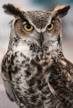 horned owl | Great Horned Owl Bubo virginianus