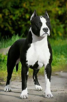 Beautiful markings on this Pit Bull.....<3