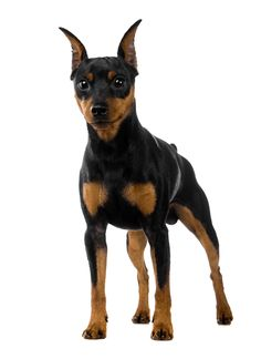 The miniature pinscher is a small breed of dog, originating from Germany. The breed's earliest ancestors may have included the German Pinscher mixed with Miniature Doberman Pinscher, Mini Pinscher, Pincher Dog, Black Doberman, Mini Dogs, Dog Breeds, Your Dog, Puppies, Animals