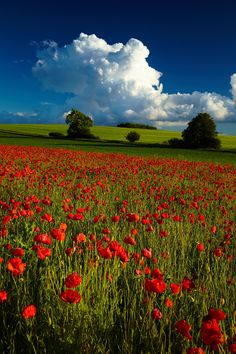 Before the storm - Magic poppy - Jura, Poland