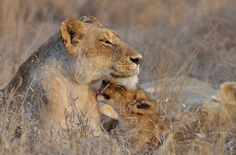www.sunsafaris.com #africa #on #foot #wildlife #kruger #klaserie #lions #ross #pride #lioness #cub #south #africa #animals