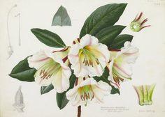 Rhododendron rhabdutum - Lillian Snelling - Kew Gardens Botanical Prints - Kew Botanical Prints