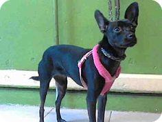 Gardena, CA - Chihuahua Mix. Meet BELLA, a dog for adoption. http://www.adoptapet.com/pet/11534779-gardena-california-chihuahua-mix