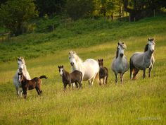 """""""Mares & Foals"""" Hope Welsh Mountain Pony Stud by sugarflower 