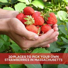 Boston Mamas - Blog - 20 Places to Pick Your Own Strawberries inMassachusetts