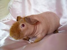 """This is called a """"werewolf skinny pig,"""" because it has hair that comes and goes."""