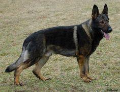 The German Shepherd Dog - Mibba