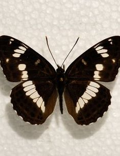 De Vlinderstichting   Vlinder: kleine ijsvogelvlinder / Limenitis camilla   Foto's: museum