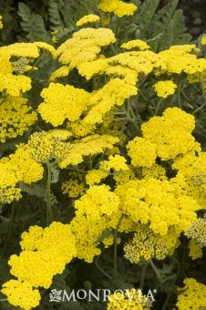 Yarrow - Achillea x 'Coronation Gold' (attracts butterflies) http://www.monrovia.com/plant-catalog/plants/21/coronation-gold-yarrow.php