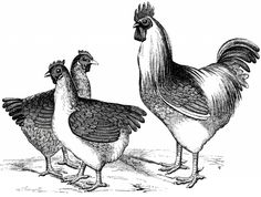Free Vintage Chicken Graphics black and white