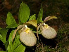 Lady's-Slipper Orchid: Cypripedium ventricosum