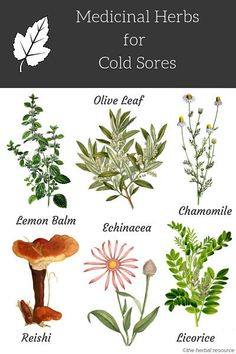 "medicinal-plants-herbs: ""Medicinal Herbs for Cold Sores Herbal remedies are a time-honored approach to treat many different conditions. They can both strengthen the body's immune system and treat diseases. Cold sores are one of the ailments that may."
