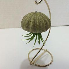 Succulentes plantes petit oursin avec Tillandsia Air plante méduse avec support