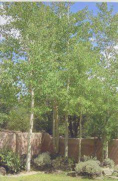 silver birch Back Gardens, Small Gardens, Outdoor Gardens, Garden Paving, Garden Shrubs, Landscaping Trees, Front Yard Landscaping, Lilac Tree, Summer Plants